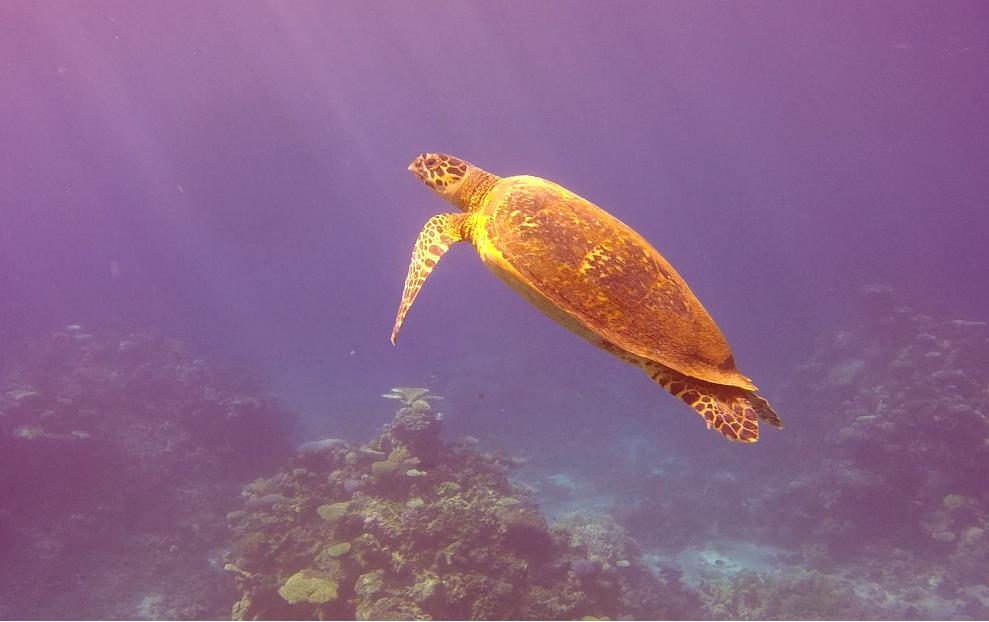 sköldpaddan