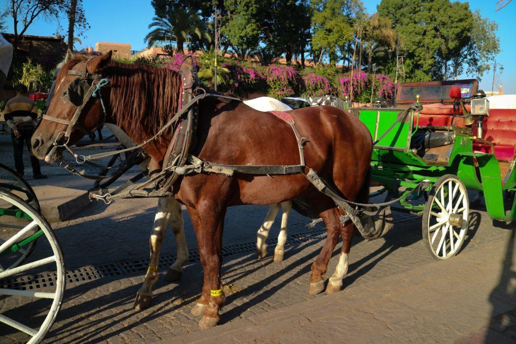 hästar i marrakech
