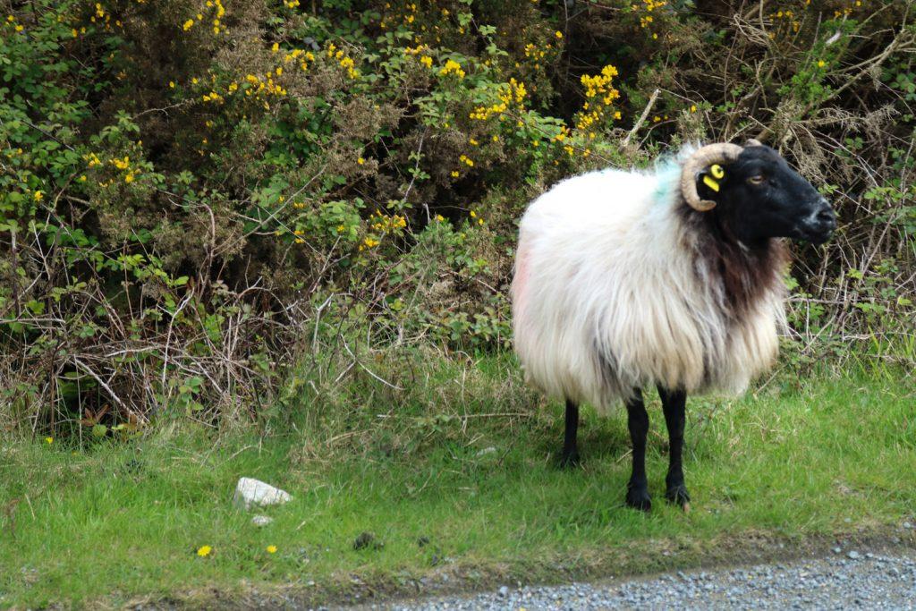 köra vänstertrafik på irland